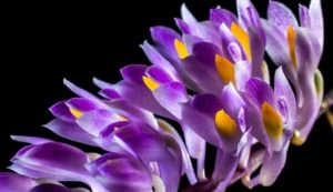 Wild purple orchid - guide to growing orchids