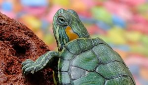 Turtle - raising reptiles and amphibians