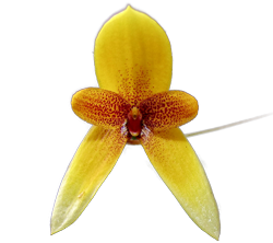 Bulbophyllum orchid growing guide with Orchiata