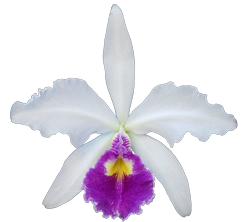 Cattleya orchid growing guide with Orchiata