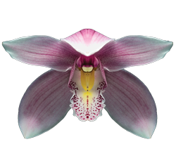 Cymbidium orchid growing guide with Orchiata