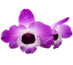 Dendrobium orchid growing guide with Orchiata