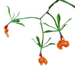Epidendrum orchid growing guide with Orchiata