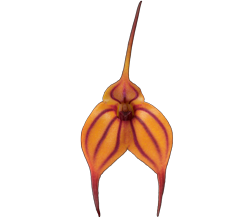 Masdevallia orchid growing guide with Orchiata