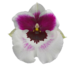 Miltoniopsis orchid growing guide with Orchiata