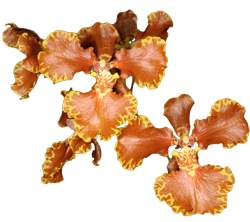 Odontoglossum orchid growing guide with Orchiata