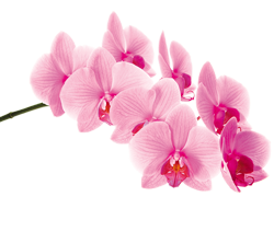 Phalenopsis orchid growing guide with Orchiata
