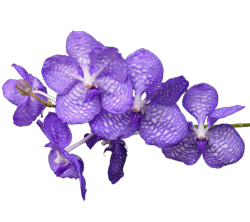 Vanda orchid growing guide with Orchiata