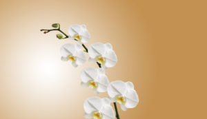 White orchid in bloom