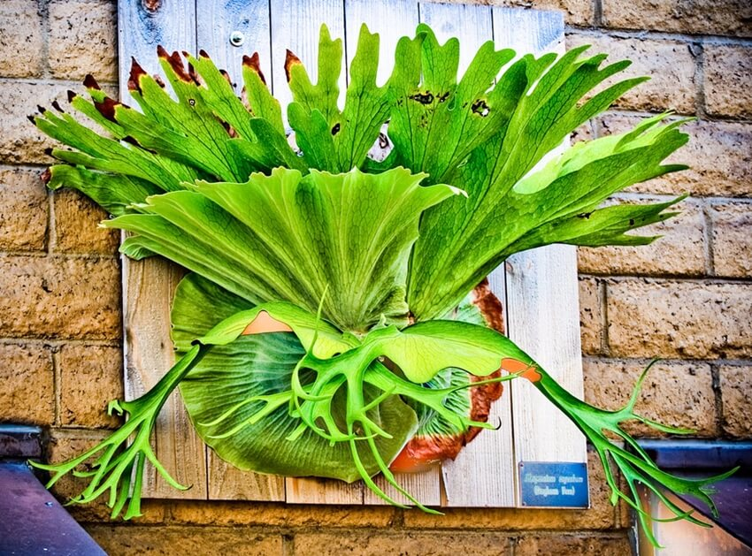 Staghorn Fern Care with Sphagnum moss