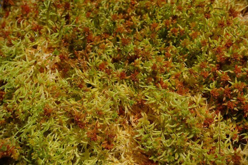 fresh sphagnum moss - spagmoss fresh moss