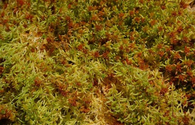 fresh spagmoss sphagnum moss