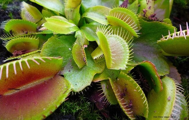 Using spagmoss to care for carnivorous plants